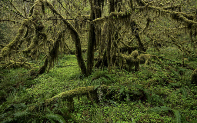Frédéric-Demeuse-photography-forest-Temperate-rainforest-Queets-rainforest