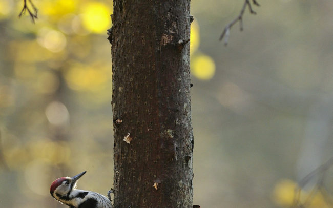 Frédéric-Demeuse-Forest-photography-Foret-de-Bialowieza-Pic-a-dos-blanc-White-backed-woodpecker-wildlife