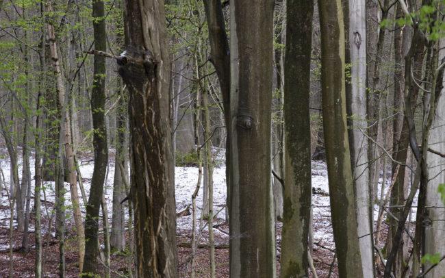 Frédéric-Demeuse-Forest-photography-Foret-de-Soignes-Mars-3
