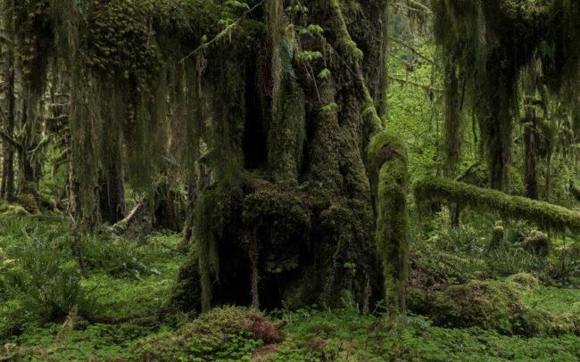 Frédéric-Demeuse-Forest-photography-Hoh-rainforest