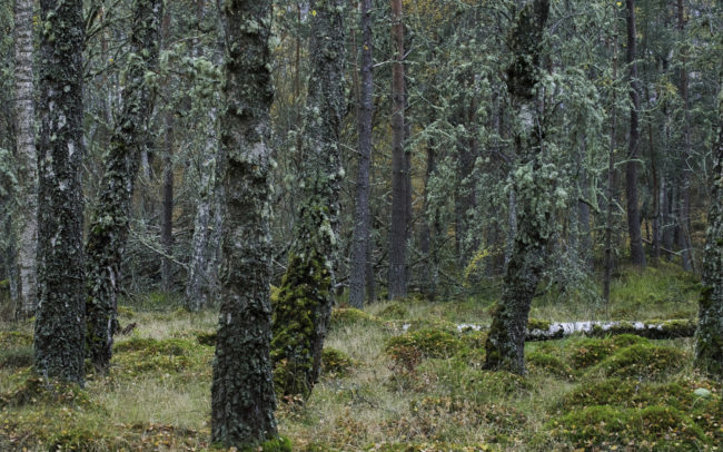 Frédéric-Demeuse-Forest-photography-Natural-forest-Cairmgorns-Scotland