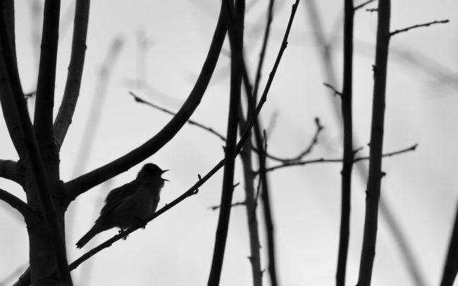 Frédéric-Demeuse-Forest-photography-blackcap-fauvette-a-tete-noire