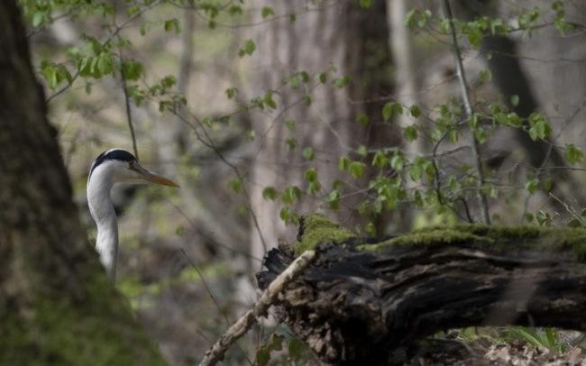 Frédéric-Demeuse-Forest-photography-foret-de-soignes-heron-cendré