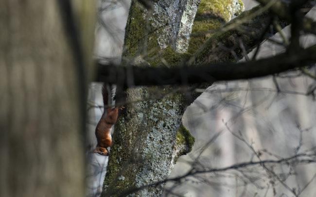 Frédéric-Demeuse-forest-photography-Ecureuil-roux-Foret-de-Soignes