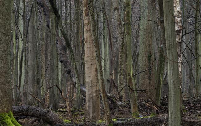 Frédéric-Demeuse-forest-photography-Foret-de-Soignes-Mars-Unesco-primeval-beech-forest
