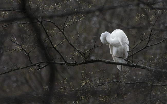 Frédéric Demeuse wilfloife photographer bird great egret