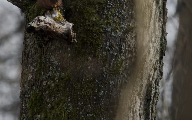 Frédéric-Demeuse-forest-photography-foret-de-soignes-pic-epeiche-wildlife-bird-photography