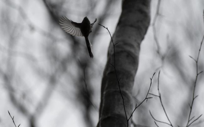 Frédéric Demeuse Wildlife photography Bird Aegithalos caudatus