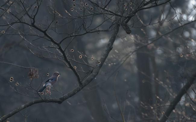 Frédéric Demeuse wildlife photographer forest bird photography